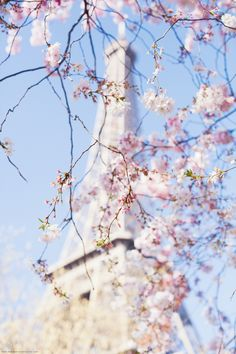First Cherry Blossom in Paris