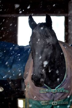 http://bridle-less.tumblr.com/post/39327465090/cute-pony-is-cute || winter black Thoroughbred blanket