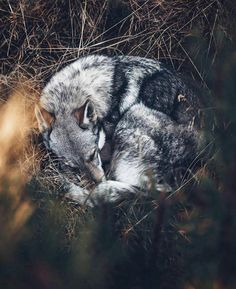 Tired Sitka after the hike!🖤 Happy Sunday ev… The most beautiful look for me . Tired Sitka after the hike! 🖤 Have a nice Sunday! Animals And Pets, Baby Animals, Funny Animals, Cute Animals, Beautiful Wolves, Beautiful Dogs, Animals Beautiful, Happy Sunday, Wolf Love