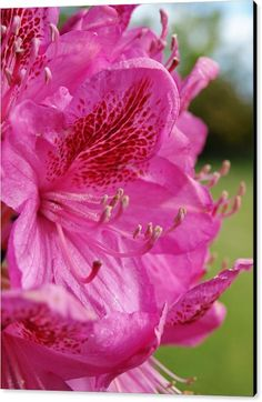 IN THE PINK Canvas Print featuring the photograph In The Pink by Richard Brookes.  DESCRIPTION: Pink rhododendron flower macro. Taken in North Devon garden.