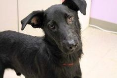 Harris: Black shepherd mix beauty is out of time at high-kill upstate SC shelter Animal Adoption, Animal Rescue, Pet Adoption, Me Salve, Black Shepherd, You Are My Forever, Find Pets, All Dogs, Rescue Dogs