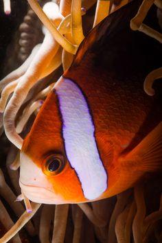 Рыба Клоун.#dentiko