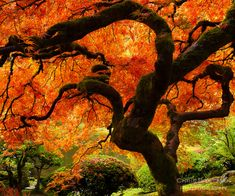 Famous Japanese Maple in the Portland Japanese Garden -cover of 'All About Trees' by Jan Johnsen