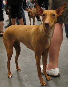 cirneco dell'etna- love these! They look like little mini Pharaoh hounds :)