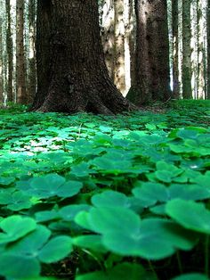Forest floor, Ireland-I want to go here just to see this:) Immigration Quebec, Beautiful World, Beautiful Places, Beautiful Forest, The Ancient Magus Bride, Irish Cottage, Irish Roots, Forest Floor, Emerald Isle