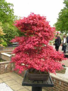 bonsai maple forest - Google Search