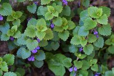 Na túto burinu sa nehnevajte, radšej ju ochutnajte - Záhrada.sk Herb Garden, Herbs, Plants, Aromatherapy, Gardening, Medicine, Lawn And Garden, Herbs Garden, Herb