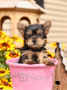 ☕Hold the milk, double the sweetness😍! Cappuccino is a #Cute and #Friendly little #YorkshireTerrier puppy! She has got a heart of gold💛and will be sure to snatch yours with her loving personality. #Charming #PinterestPuppies #PuppiesOfPinterest #Puppy #Puppies #Pups #Pup #Funloving #Sweet #PuppyLove #Cute #Cuddly #Adorable #ForTheLoveOfADog #MansBestFriend #Animals #Dog #Pet #Pets #ChildrenFriendly #PuppyandChildren #ChildandPuppy #LancasterPuppies www.LancasterPuppies.com Teacup Yorkie, Yorkie Puppy, Lancaster Puppies, Yorkshire Terrier Puppies, Gif Animé, Puppies For Sale, Mans Best Friend, Puppy Love, Anime