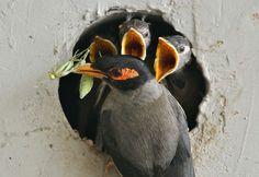 Выводок птенцов майн в ожидании пищи, принесенной заботливым родителем.