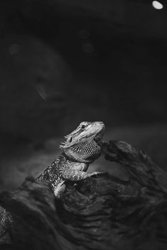 How To Identify And Treat Mouth Rot In Bearded Dragons - Read this! Bearded Dragon Funny, Bearded Dragon Cage, Bearded Dragon Habitat, Bearded Dragon Substrate, Bearded Dragon Lighting, Dragon Facts, Pet Dragon, Fauna, Exotic Pets