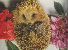 Vintage pic of a hedgehog