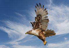 bird photography | Bird Photography-Ferruginous Hawk