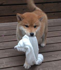 "°jpn° Shiba Inu 見るだけで癒される""柴犬""画像集【100枚超】 - NAVER まとめ"