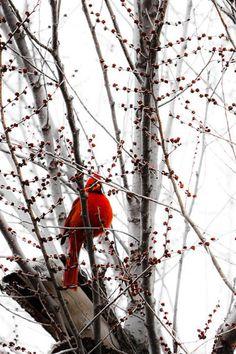 Cardinal in winter All Birds, Love Birds, Pretty Birds, Beautiful Birds, State Birds, Cardinal Birds, All Gods Creatures, Bird Watching, Bird Houses