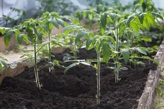 The Easiest Way to Grow an Endless Supply of Tomatoes
