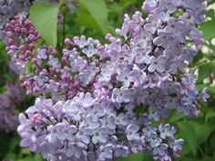 Syringa vulgaris (Common Lilac) flowers