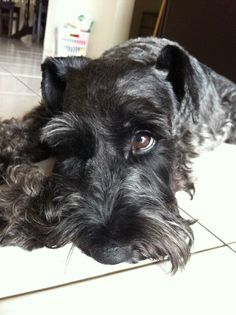 My second schnauzer Linus is a rascal but I love him anyway...