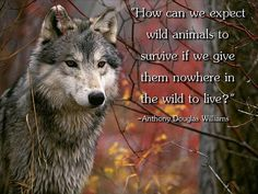 """**Space for Wolves** Never, ever assume that it is necessary to cull or reduce a wildlife population simply because a group of people or a government agency tells you so. Wildlife managed itself for literally billions of years before there were state and federal government agencies. Wildlife is managed now not for it's benefit, but for the benefit of the human beings who use and exploit them."""" - Anti-Hunting in America"""