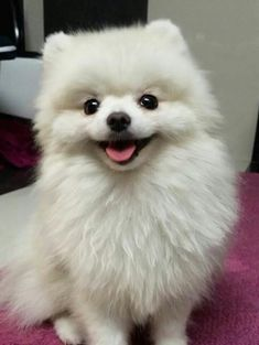 Beautiful white pom