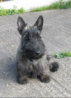 What a beautiful Scottish Terrier!
