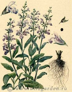 шалфей лекарственный, salvia officinalis