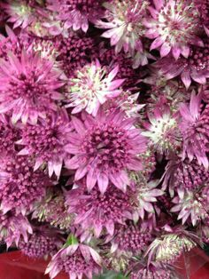 Astrantia pink. I adore this flower for its shape and color range. Any excuse to use it!