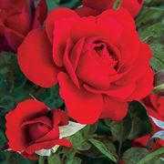 Grow floribunda 'Obsession' as a tree rose or bush. It matures to 3 feet high by 3 feet wide, with vibrant red flowers and glossy, dark green leaves. Floribunda Roses, Shrub Roses, Growing Flowers, Cut Flowers, Rose Flowers, Rose Foto, Patio Trees, Bush Plant, Rose Varieties