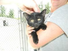 Chesterfield County, SC Animal Services Minks-3205 female 14 wks DSH **Updated Pic**