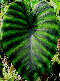 elephant ears and tropicals 29 Best Fl Elephant Ears and Leaf Plants Images On Easy Large Leaf Florida Plants Natural 25 Large Leaf Florida Plants