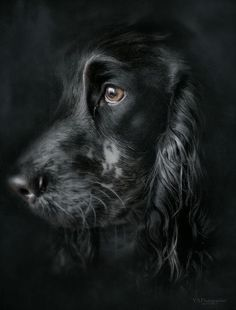 "Beautiful black Cocker Spaniel ""Pollux"" - ©️️ Yves Schüpbach"