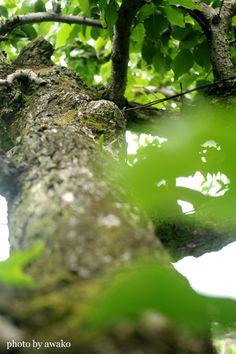 ●○梨の木