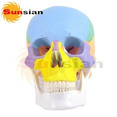 (48.50$)  Watch now - http://aihed.worlditems.win/all/product.php?id=32764325502 - Lifesize 1:1 Teaching with colored bones Human Skull, Free shipping human anatomical skull model,model of the medical skull