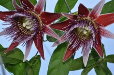 Passiflora venusta 4″ pot        Gorgeous, rose-scented flowers are dark burgundy with purple and white banded filaments.   Excellent edible fruit.  Zone 11.    Subgenus: Passiflora, Section: Laurifoliae. Photo courtesy of Clay Dove.