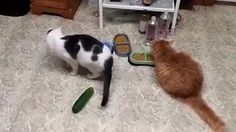 Cats scared by Cucumbers - Cats vs Cucumbers Funny Cat Fails, Funny Cat Compilation, Funny Animal Memes, Funny Animal Videos, Cute Funny Animals, Funny Animal Pictures, Cute Baby Animals, Cute Cats, Funny Videos Of Cats