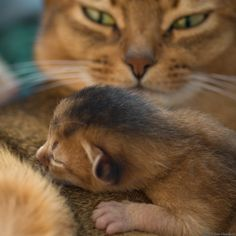 Beautiful Abyssinian cats mother and kitten