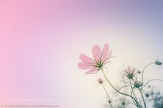 SAKURA COSMOS - Pinned by Mak Khalaf My work will be published :) 自分の花の写真を110枚使った名言集が出版されます :) Nature 花DreamyYusuke Kitamuraautumnbackgroundbeautifulbeauty in naturecolor imagecolorscolourscosmosfallflowersgradationjapanlovelypastel colorpinkplantspurpleseasonstokyoコスモスピンク日本昭和記念公園東京植物秋秋桜 by KEY8969