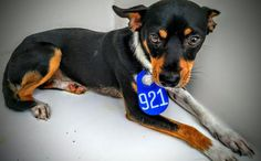 This DOG - ID#A464784 - located at Harris County Animal Shelter in Houston, Texas - 2 year old Male Miniature Pinscher mix - at the shelter since Jul 27, 2016.