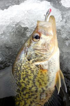 Ice Fishing: Keep Backup Baits Rigged for Crappie and Perch | Outdoor Life