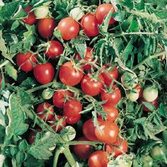 Tomatoes Amish Salad- Heirloom- Growth is indeterminate- Variety Cherry- These is round, pink 2oz fruit. The tomatoes are very sweet and firm. Use for salads, snacks, sauces, and drying