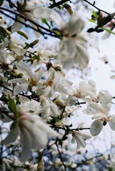 Magnolie w parku Skaryszewskim na Pradze - white tree magnolias in Warsaw's Skaryszewski Park, Poland
