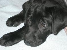Black Lab Puppy 'Brady'