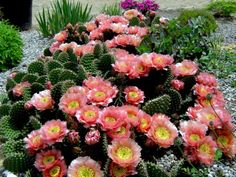 Though the large variety of species within the Opuntia genus means different types of prickly pears may need slightly different care, all are desert...
