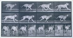 Animal Locomotion: Plate 707 (Dog) by Eadweard Muybridge (Happy Birthday, Eadweard Muybridge!) Paired: Eadweard Muybridge + Benjamin Harnett Animal Locomotion The leash tugs in my hand. History Of Photography, Animal Photography, Zbrush, Dog Anatomy, Animal Anatomy, Eadweard Muybridge, Run Cycle, Dog Poses, Animation Reference