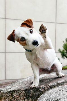 Dog photography, cutest Jack russell terrier doggo portrait. Doggie saying hello. Waving dog.