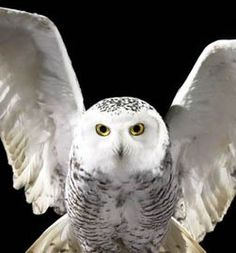 Hedwig (Harry Potter's Owl) makes me think of my sister Harry Potter Books, Snowy Owl, Fantastic Beasts, Bird Feathers, Beautiful Birds, My Animal, Hogwarts, Poster, Creatures