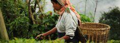 Explore The Beauty Of Tea Gardens In Assam   #NorthEastTour  #DarjeelingPackages   #Sikkimpackages