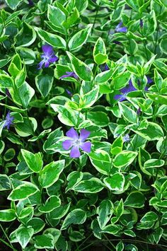 Vinca major (periwinkle) evergreen groundcover for shade plantsfordallas.com #plantsfordallas
