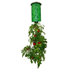 Buy New & Improved Hanging Tomato Plant, Vegetable Grower?Upside Down Plant Holder Pot Hanging Sky Topsy Turvy Upside-Down Tomato Planter at Wish - Shopping Made Fun Upside Down Plants, Upside Down Tomato Planter, Types Of Tomatoes, Varieties Of Tomatoes, Grow Tomatoes, Baby Tomatoes, Cherry Tomatoes, Dried Tomatoes, Growing Tomato Plants