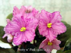 Pretty 'n Pink