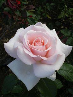 Hergestellt von Stella Luo Tätowierern in Toronto, Kanada - rose tattoos Beautiful Rose Flowers, Flowers Nature, Exotic Flowers, Amazing Flowers, My Flower, Beautiful Flowers, Purple Roses, White Roses, Pink Flowers
